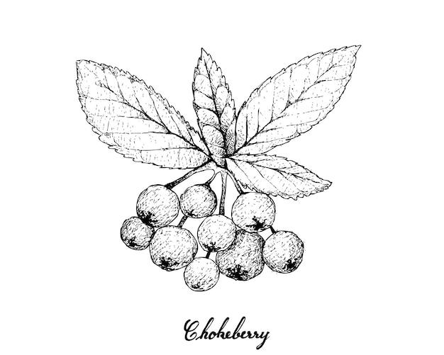 Hand drawn of aronia or chokecherries Premium Vector