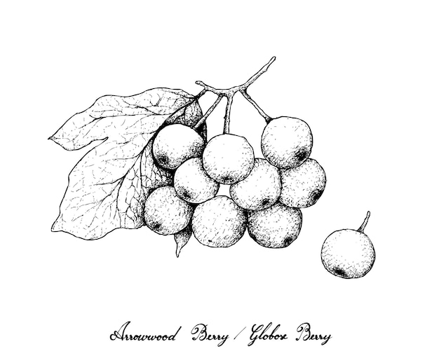 Hand drawn of arrowwood berries or globose berries Premium Vector