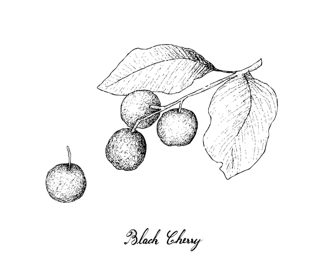Hand drawn of black cherries Premium Vector