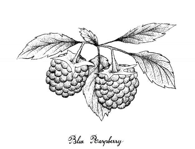 Hand drawn of blue raspberries on white background Premium Vector