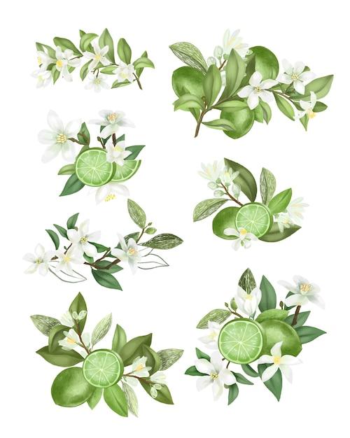 Вручите оттянутые букеты и композиции из цветущих веток дерева лайма (зеленый лимон), изолированные на белом фоне Premium векторы