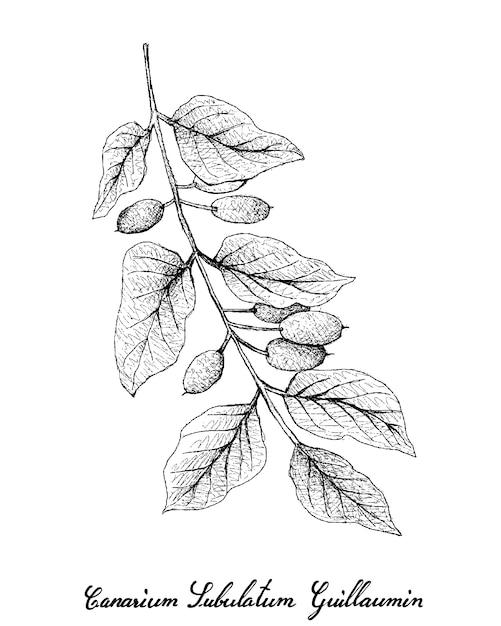 Hand drawn of canarium subulatum guillaumin Premium Vector