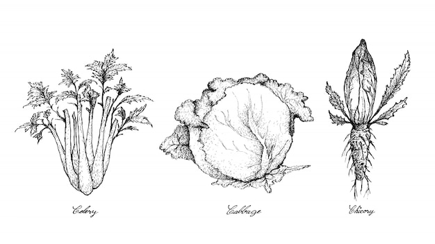 Hand drawn of celery, cabbage and chicory Premium Vector