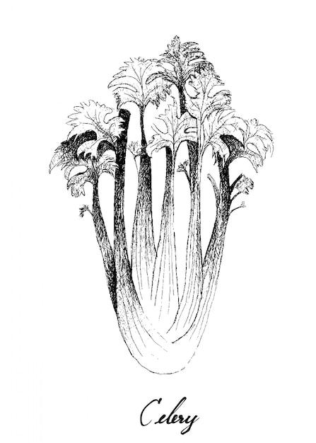 Hand drawn of celery on white Premium Vector