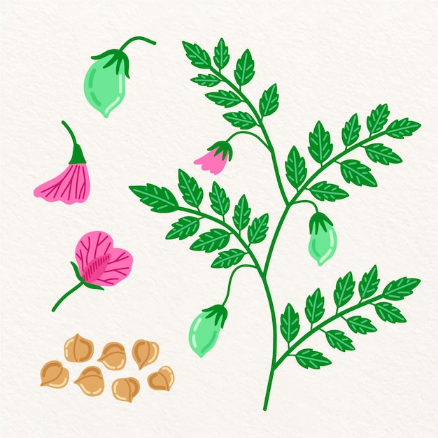 Hand drawn chickpea beans and plant illustration Free Vector