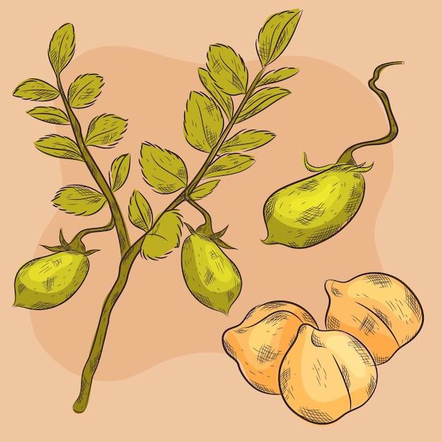 Fagioli di ceci disegnati a mano con illustrazione della pianta Vettore gratuito