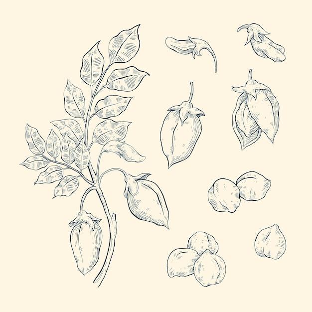 Fagioli di ceci disegnati a mano con la pianta Vettore gratuito