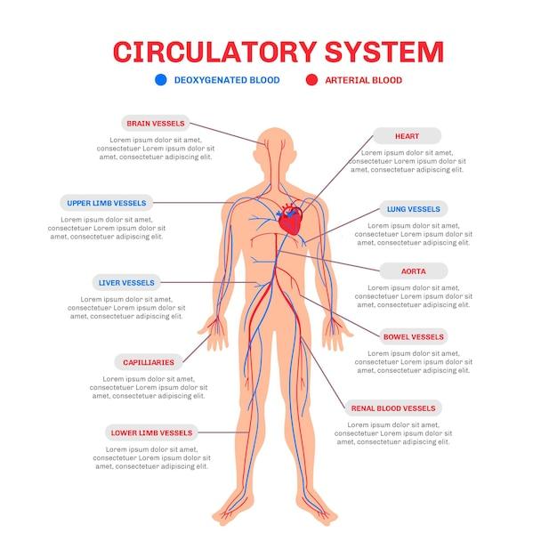 手描きの循環器系のインフォグラフィック 無料ベクター
