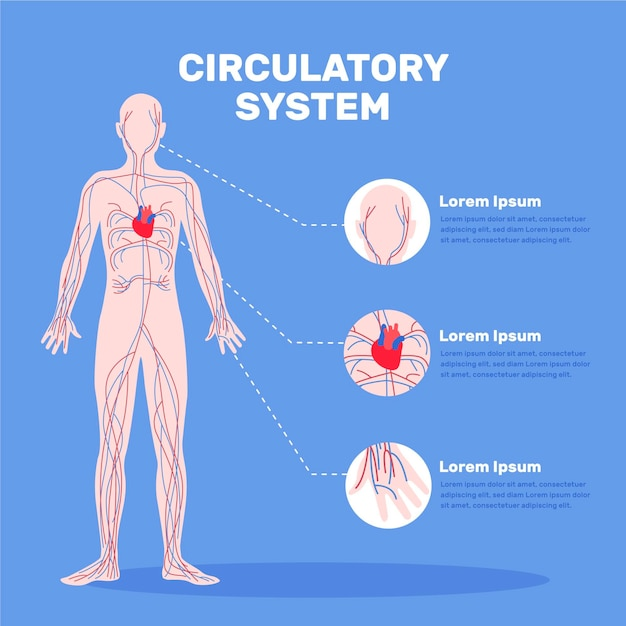 Hand drawn circulatory system infographic Free Vector
