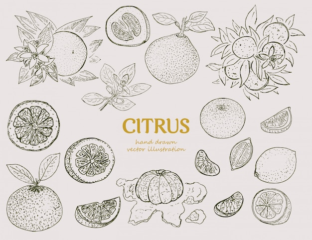 Hand drawn citrus botanical set Free Vector