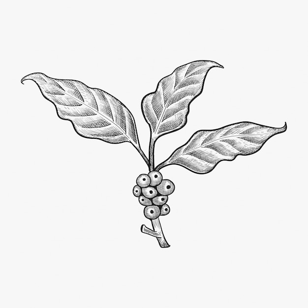 Hand drawn coffee leaf vector - coffee bean vector Premium Vector