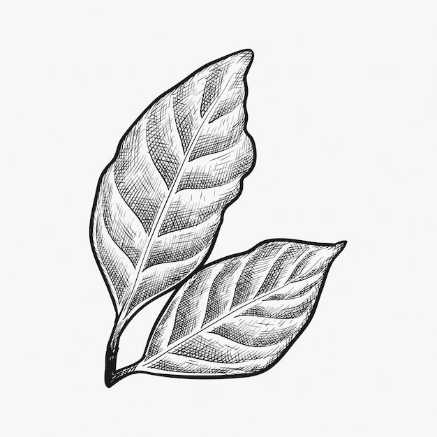 Hand drawn coffee leaf vector Premium Vector