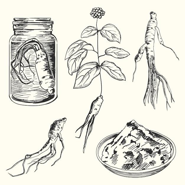 人参植物の手描きコレクション 無料ベクター