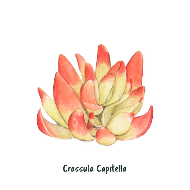 Hand drawn crassula capitella succulent Free Vector