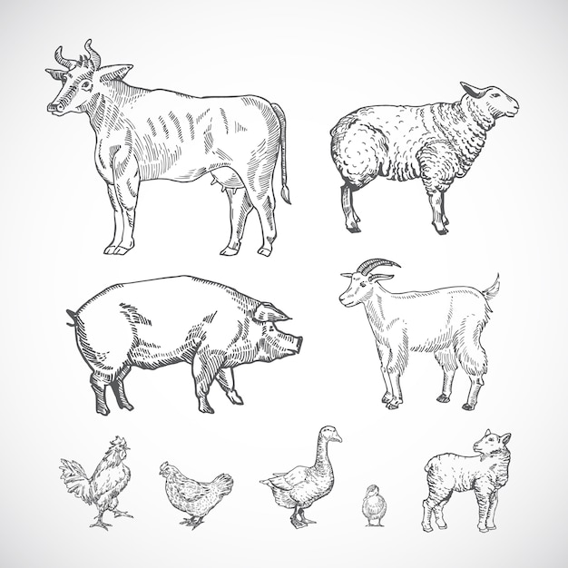Hand drawn domestic animals collection of pig, cow, goat, lamb and birds sketch silhouettes drawings set. Premium Vector