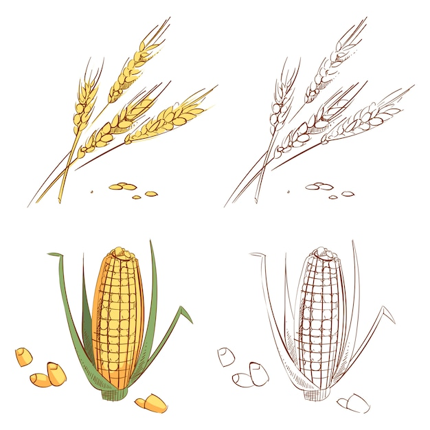 Hand drawn ears of wheat and corn isolated Premium Vector