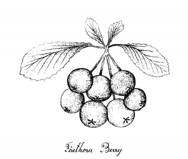 Hand drawn of firethorn berries fruits on white background Premium Vector