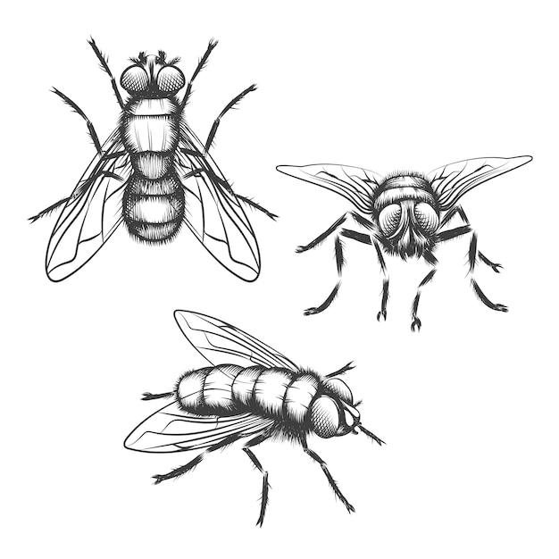 Mosche disegnate a mano. insetto con ala, biologia e schizzo Vettore gratuito