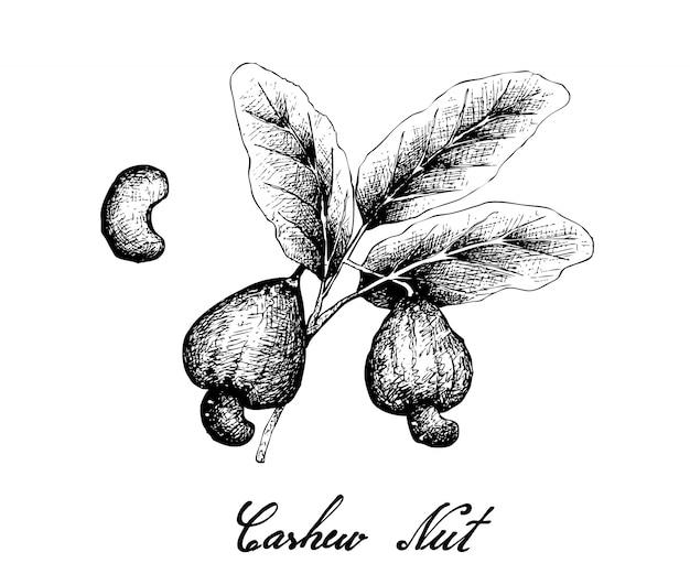 Hand drawn of fresh cashew nut on a plant Premium Vector