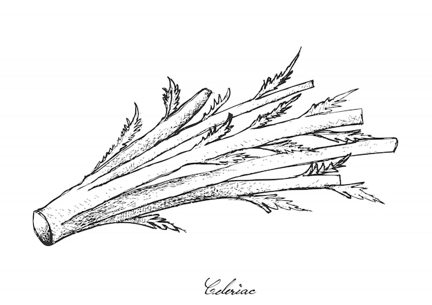 Hand drawn of fresh celeriac on white background Premium Vector