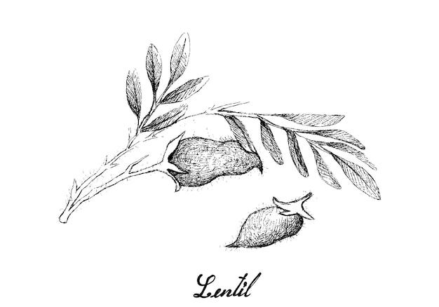 Hand drawn of fresh lentil pod on tree Premium Vector