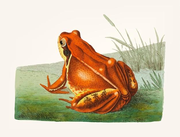 Hand drawn frog Free Vector