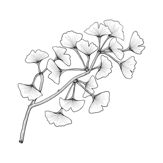 白で隔離の手描きイチョウの葉の描画イラスト Premiumベクター