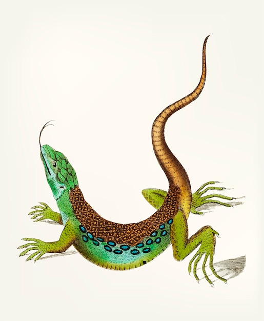 Hand drawn of great spotted lizard Free Vector