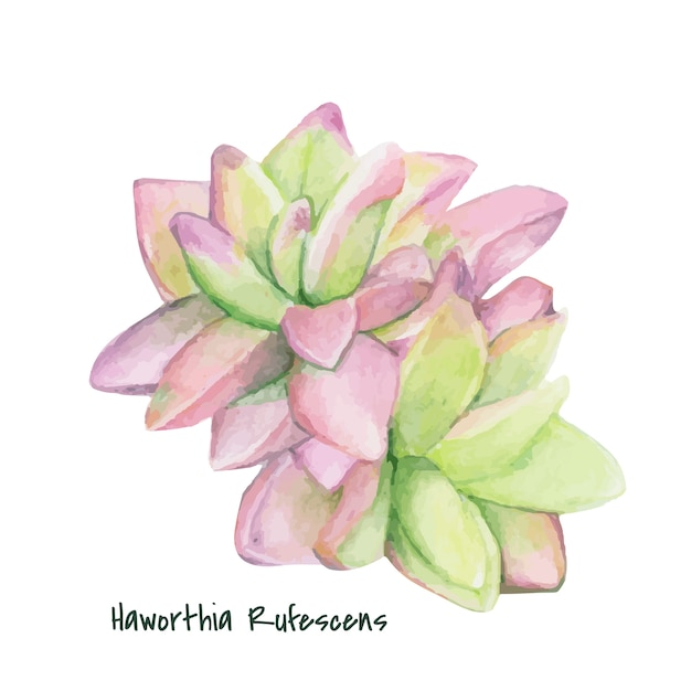 Hand drawn haworthia rufescens succulent Free Vector