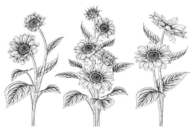 EPS - ảnh hoa hướng dương vẽ tay bằng chì trắng đen trên nền trắng
