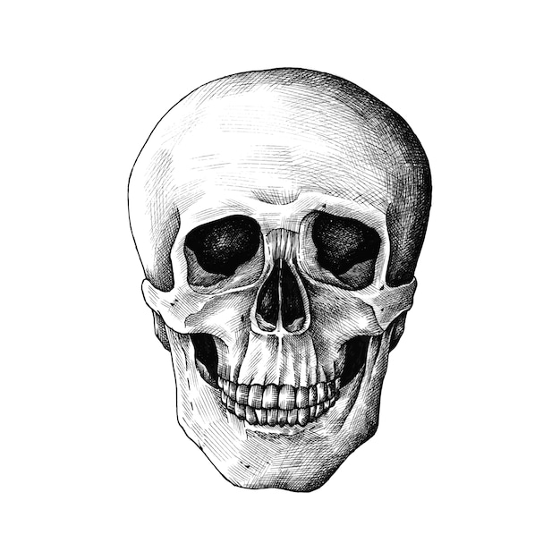 Hand drawn human skull isolated Free Vector