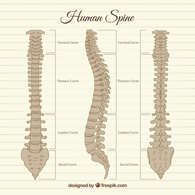 hand drawn human spine vector premium download