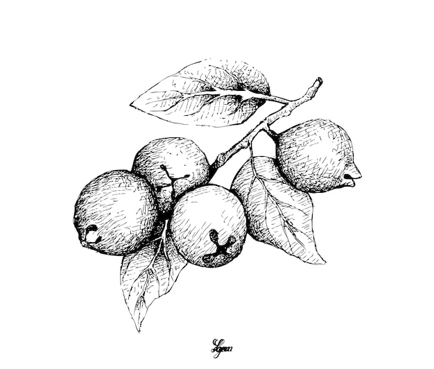 Hand drawn of lemon guava on white Premium Vector