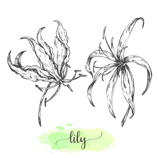Hand drawn lily flowers. blooming lilies isolated on white. vector illustration in vintage style. sketch of tropical flower outline lilly Premium Vector
