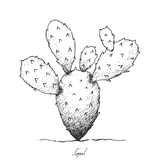 Hand drawn of nopal cactus on white background Premium Vector