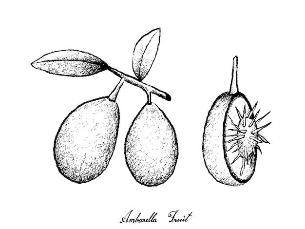 Ambarella 과일의 손으로 그린 프리미엄 벡터