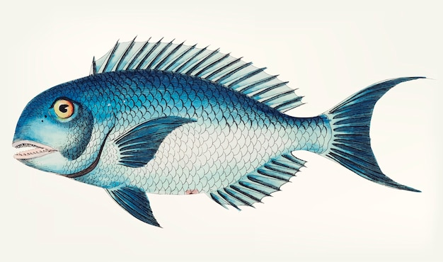 Hand drawn of Blue coryphaena Free Vector