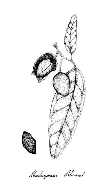 枝に描かれたマダガスカルアーモンドの手描き Premiumベクター
