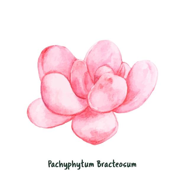Hand drawn pachyphytum bracteosum succulent Free Vector