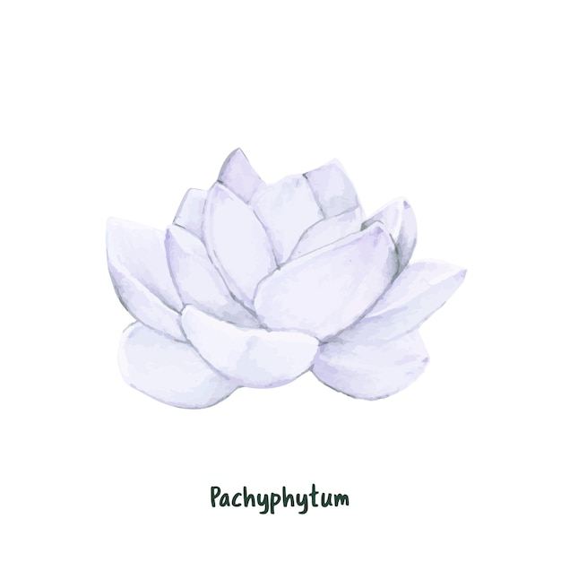 Hand drawn pachyphytum succulent isolated Free Vector