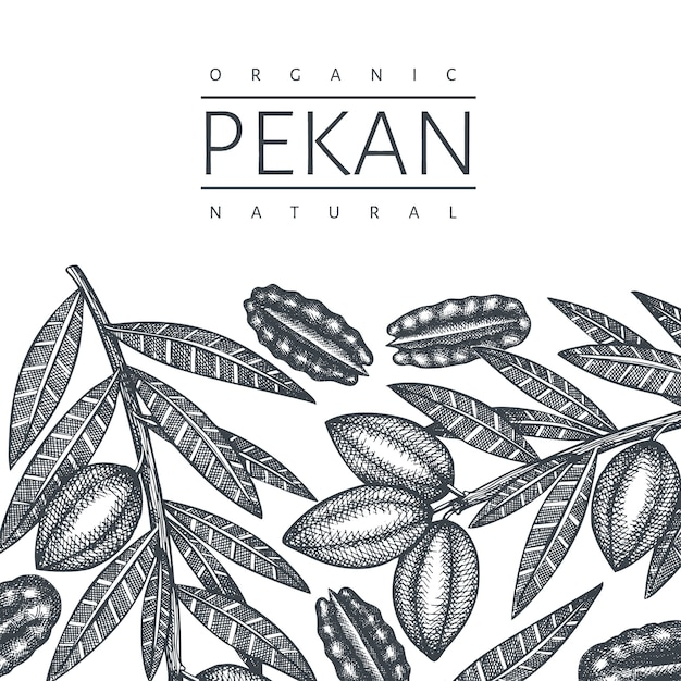 Hand drawn pecan branch and kernels design template. organic food vector illustration on white background. retro nut illustration. engraved style botanical picture. Premium Vector