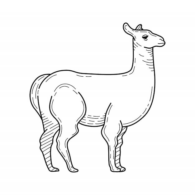Нарисованная рукой иллюстрация ламы карандашом. горное животное. векторная иллюстрация. Premium векторы