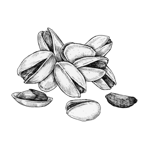 Hand drawn pistachio isolated Premium Vector