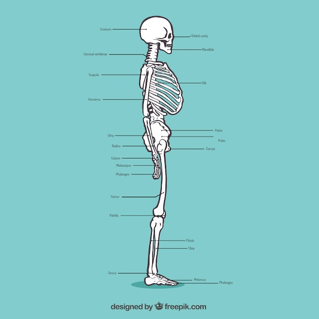 hand drawn profile skeleton vector | free download, Skeleton