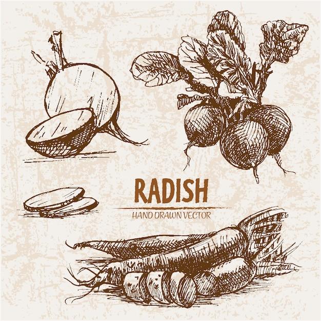 Hand drawn radish collection Free Vector