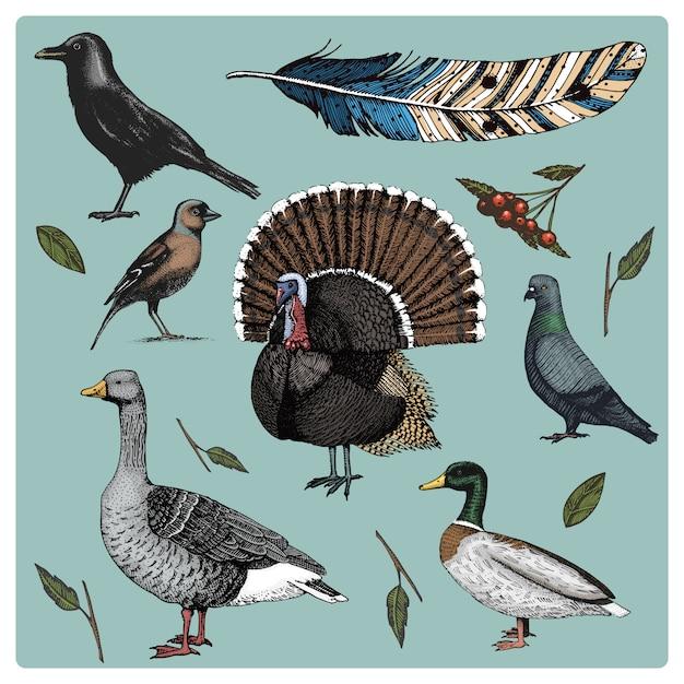 手描きのリアルな鳥、スケッチグラフィックスタイル、国内のセット。七面鳥とアヒル。ガチョウとカラス。鳩とスズメ。カラスと羽。 Premiumベクター