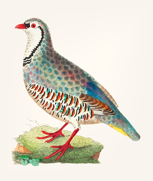 Hand drawn red partridge Free Vector