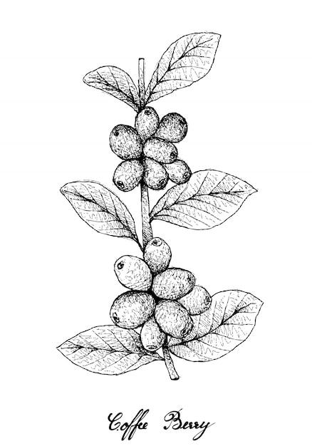 Hand drawn of ripe coffee berries on branch Premium Vector