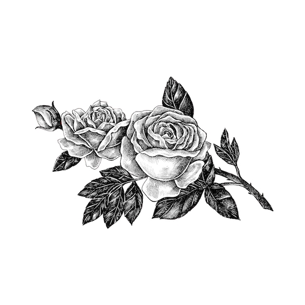 hand drawn rose isolated on white background vector premium download