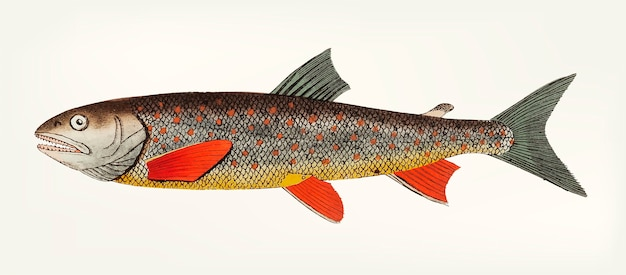 Hand drawn of salvelin trout Free Vector